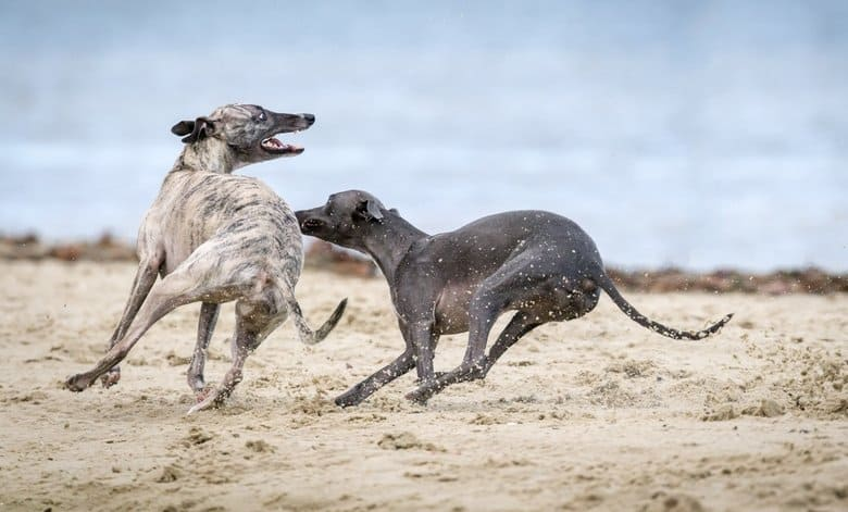 Greyhounds playing on the beach