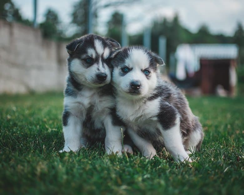 Comfortable Husky Puppies