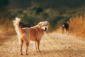 Golden Retriever on a dirt road