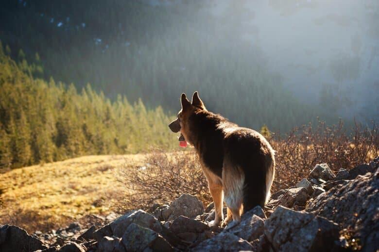 Shepherd outdoors