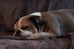 Sleeping English Bulldog laying on the couch