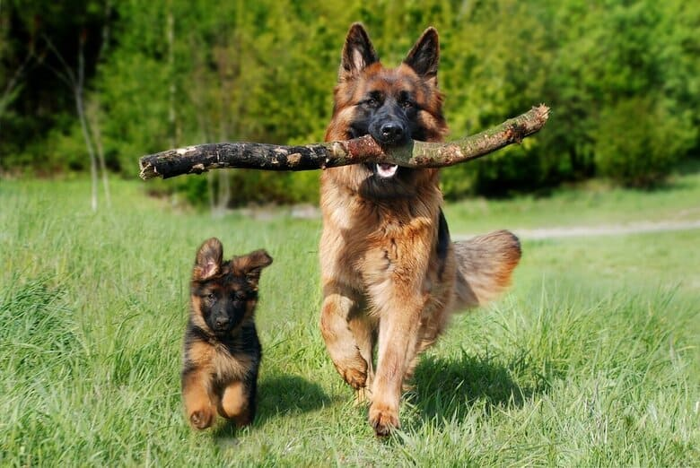 German Shepherd parent and puppy