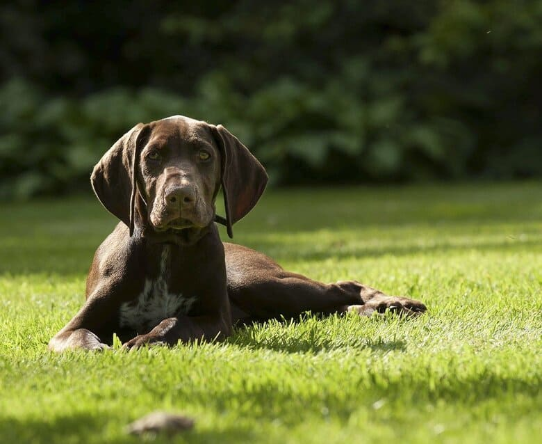 German Shorthaired Pointer pup on the lawn in the sun