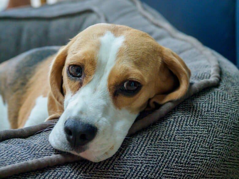 Napping Beagle
