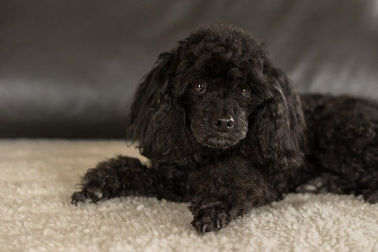 A small Black Poodle laying on soft carpet in front of a couch