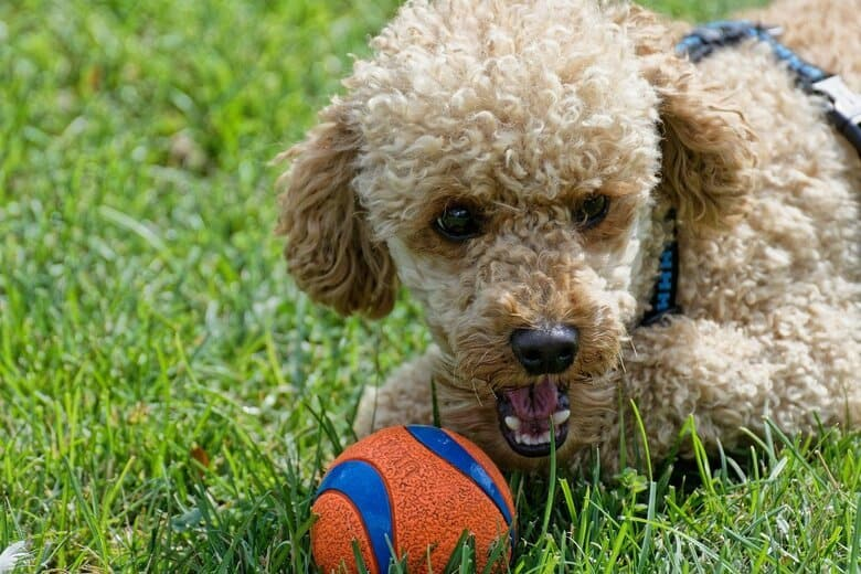 Brown Poodle playing with an orange ball in the grass