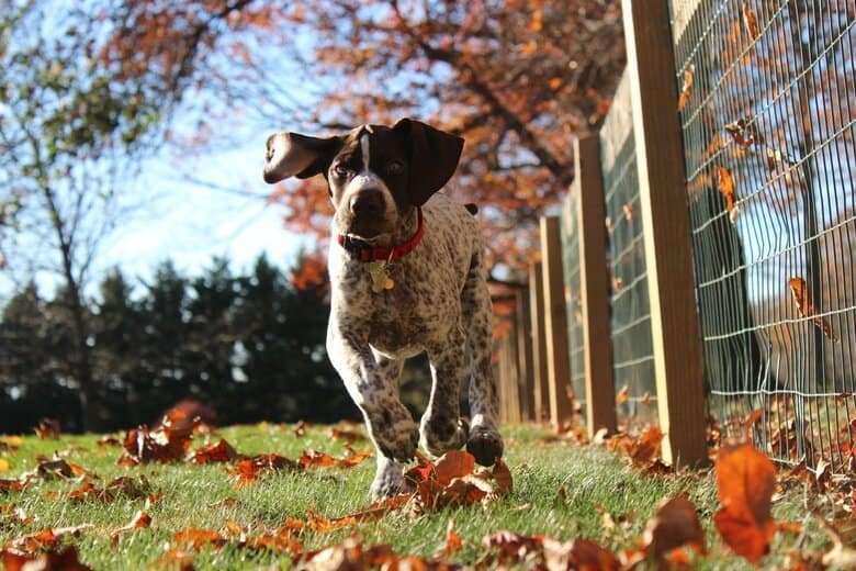 German shorthaired pointer running along the fenceline over grass and fallen leaves.  Ears flopping with each stride.