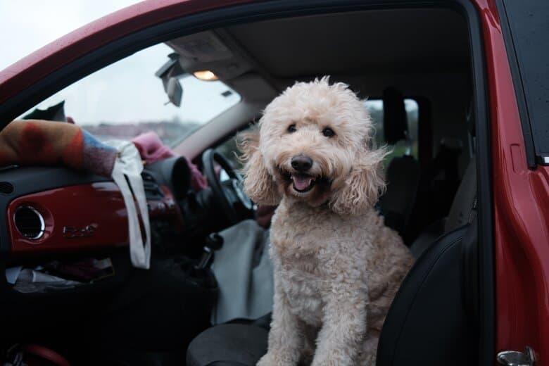 Goldendoodle in car