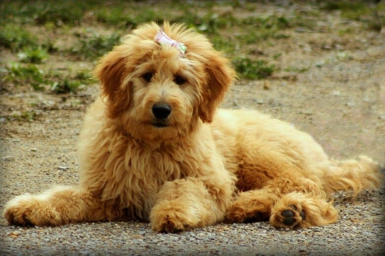 Goldendoodle on ground