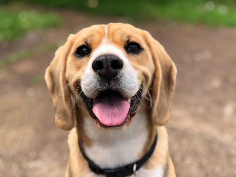 Smiling Beagle