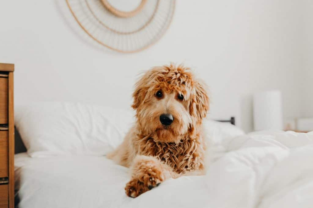Goldendoodle sitting in a bed with white sheets staring back at his owner