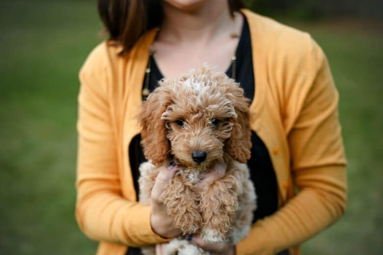 Goldendoodle puppy being held by a woman in an orange sweater facing the camera