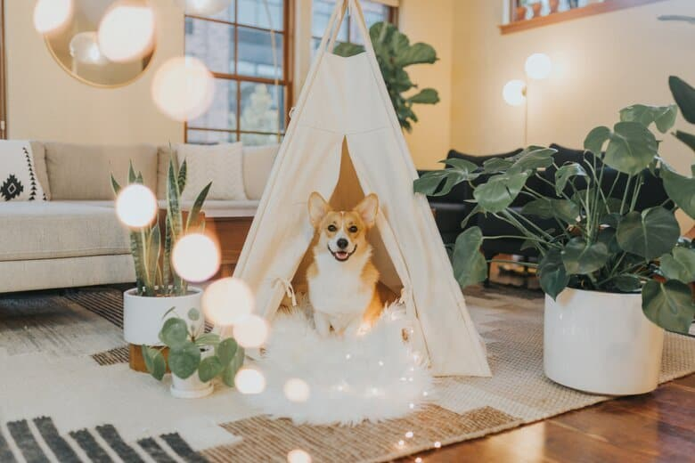 Corgi sitting in a tent in a well lit living room surrounded by furniture and plants