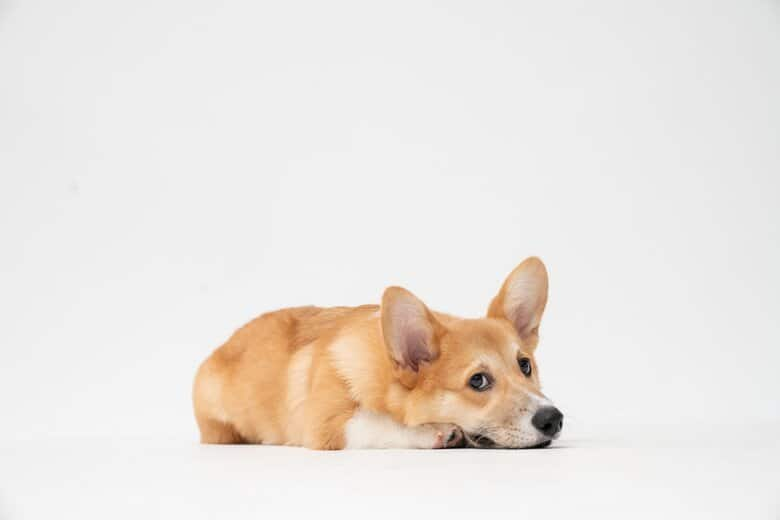 Corgi laying down with ears up giving his owner puppy dog eyes