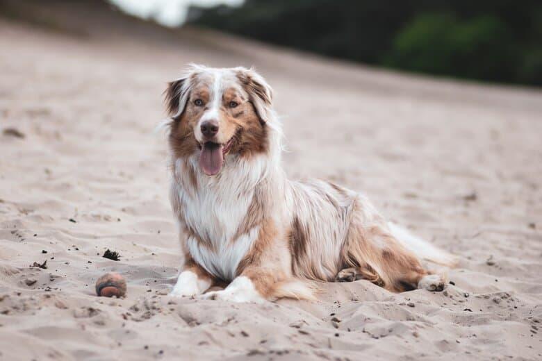 Ausie in the sand