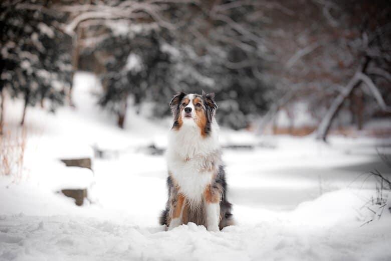 Aussie in the snow