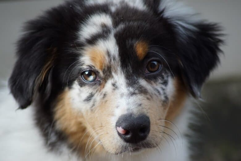 Tired Aussie puppy looks up at the owner ready for bed