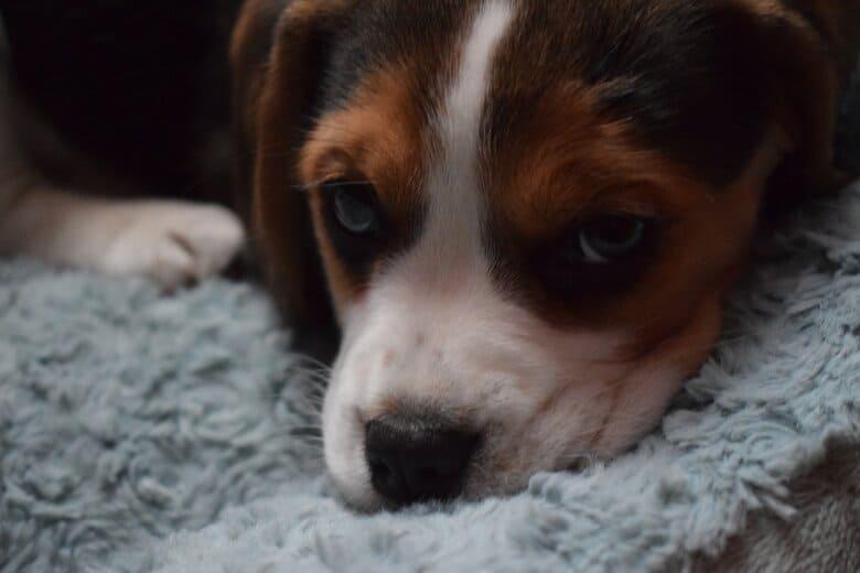 Cute Beagle Puppy resting on shag carpet