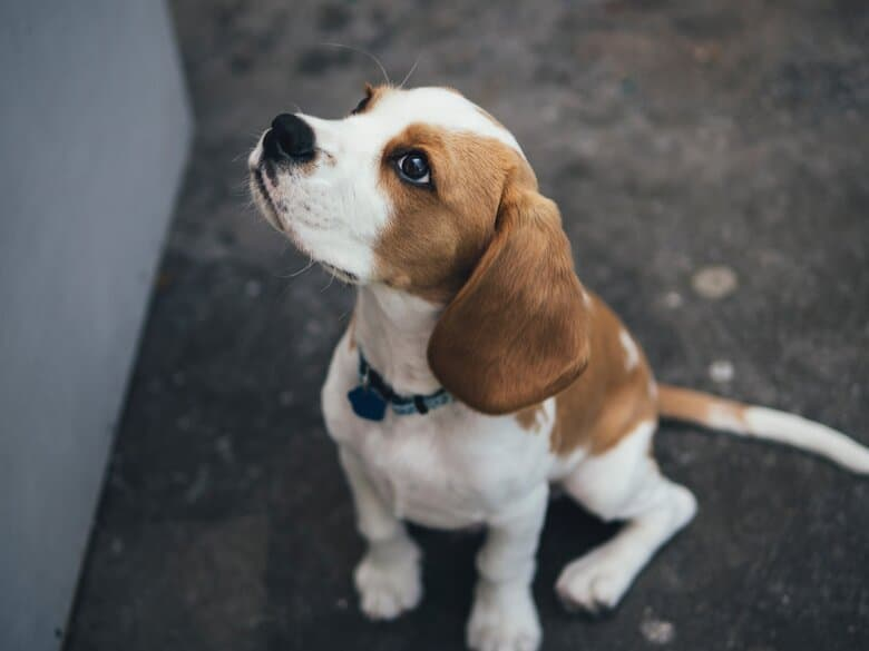 Cute Beagle puppy begs for a treat while sitting on the driveway