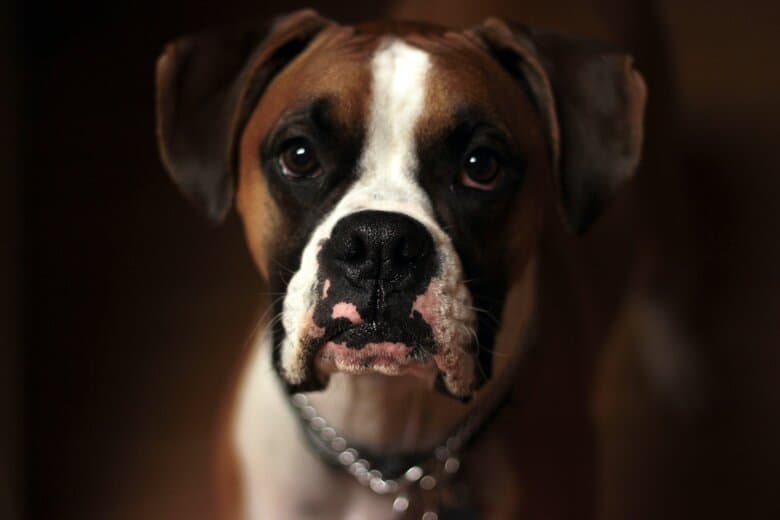 Boxer puppy stares at his owner from the shadows