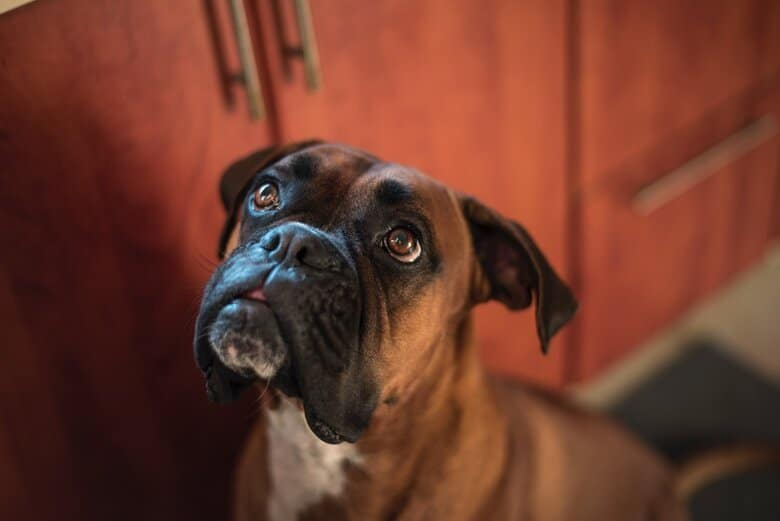 Adult Boxer patiently waits for a treat while staring up at his owner
