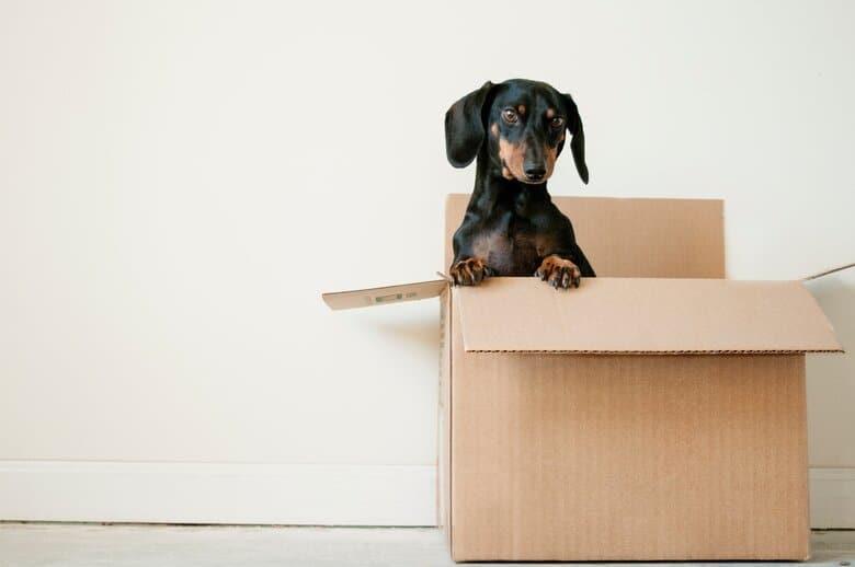 Dachshund in a box by a wall inside