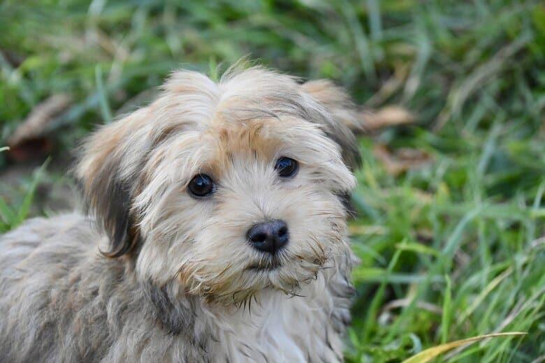 Havanese puppy sitting in the grass