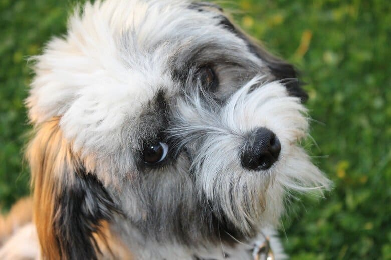 Cute Havanese Dog looking up at owner from the lawn