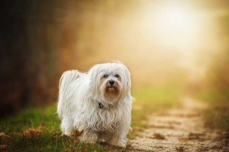 Havanese pup walking down dirt path towards owner