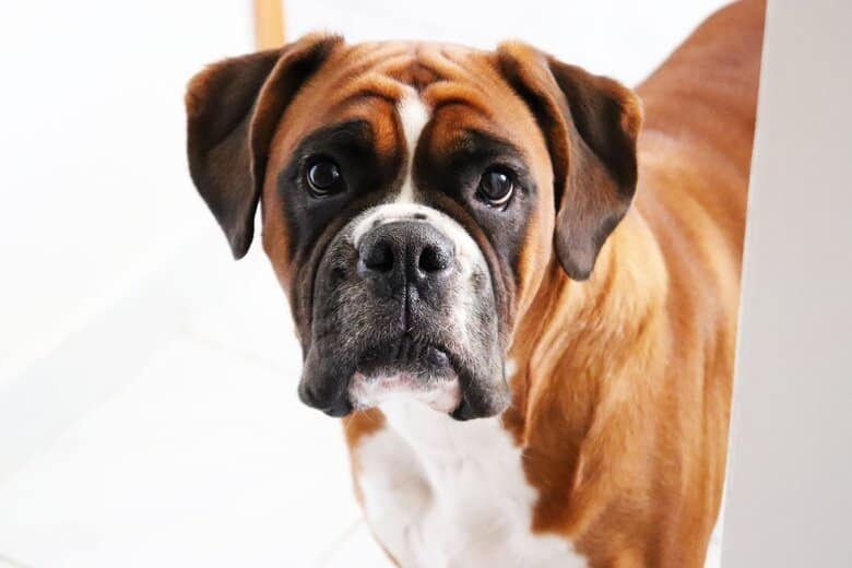 Boxer dog stares at his owner from the snow