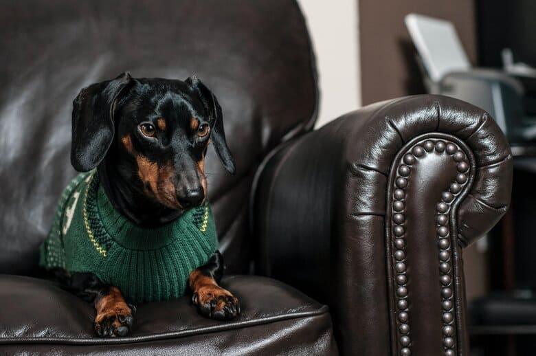 Dachshund on the sofa