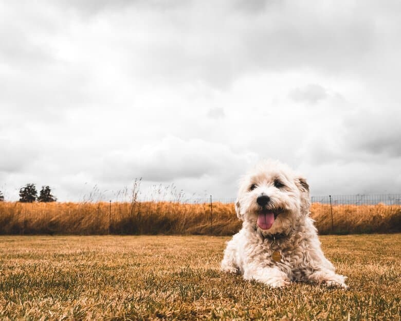 Golden laying in a grassy field in front of a fence contained wheat field