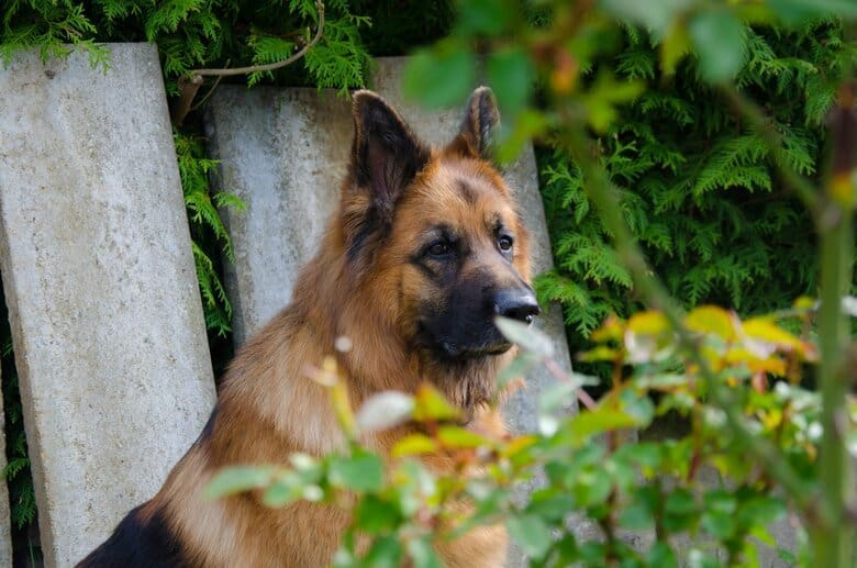 Old German Shepherd stairs back at his owner through the bushes in the garden