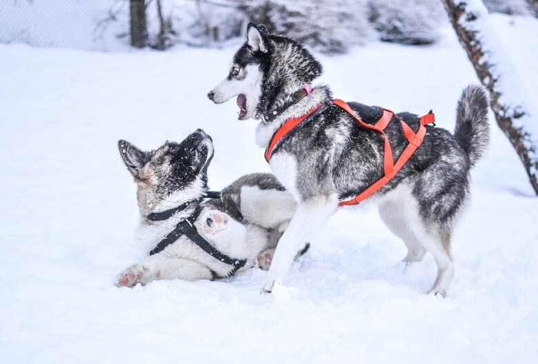 Two huskies play in the snow