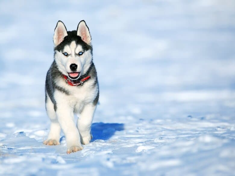 Husky trots towards owner in the snow