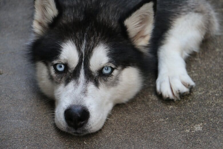 Husky lays down on the pavement to catch his breath