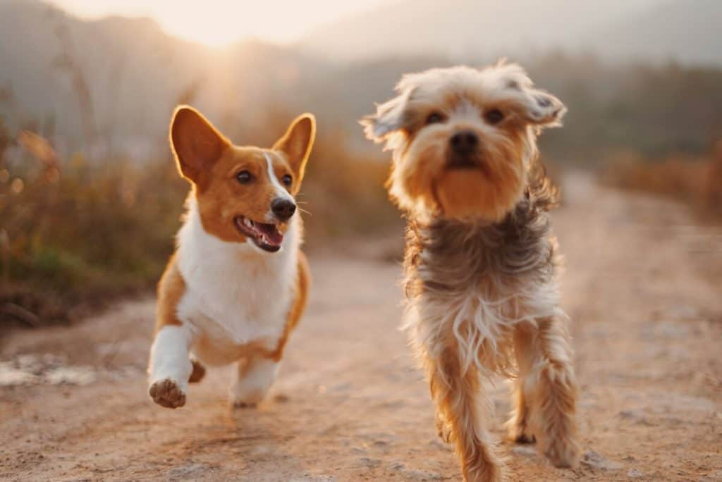 Two dogs run along a dirt path towards their owner on a late sunny afternoon