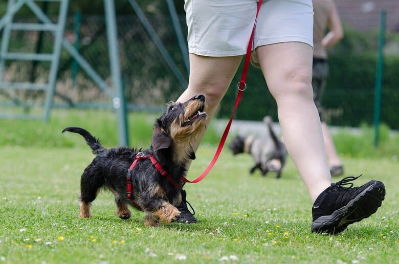 Small dog walks with owner on a leash in a dog park