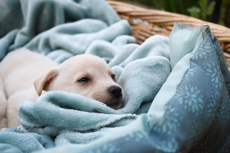 Lab puppy lays down on a soft blanket