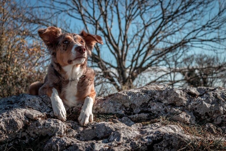 Old Australian Shepherd lays on rocks looking out from the top of a hill