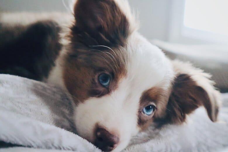 Australian Shepherd puppy lays on fleece blanket stairing up with blue eyes