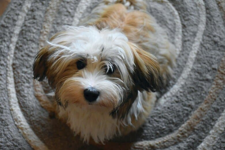 Havanese dog looks up at owner from an oval carpet
