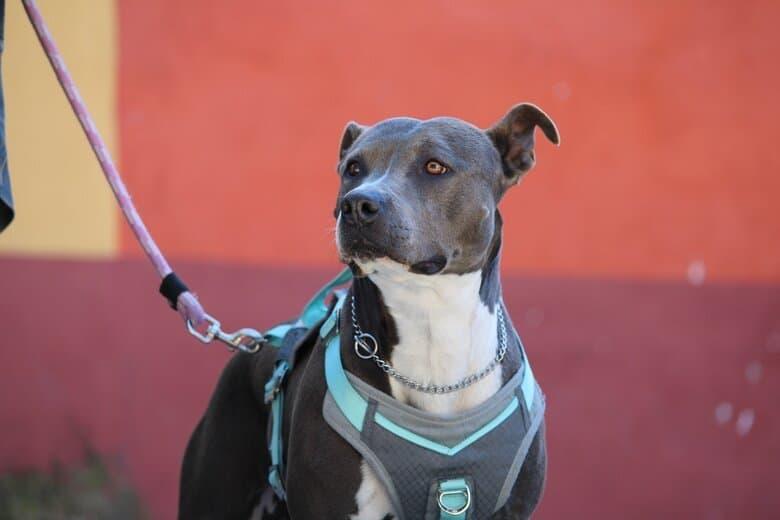Nervous dog on a leash staring back at owner