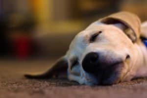Yellow lab laying down taking a nap