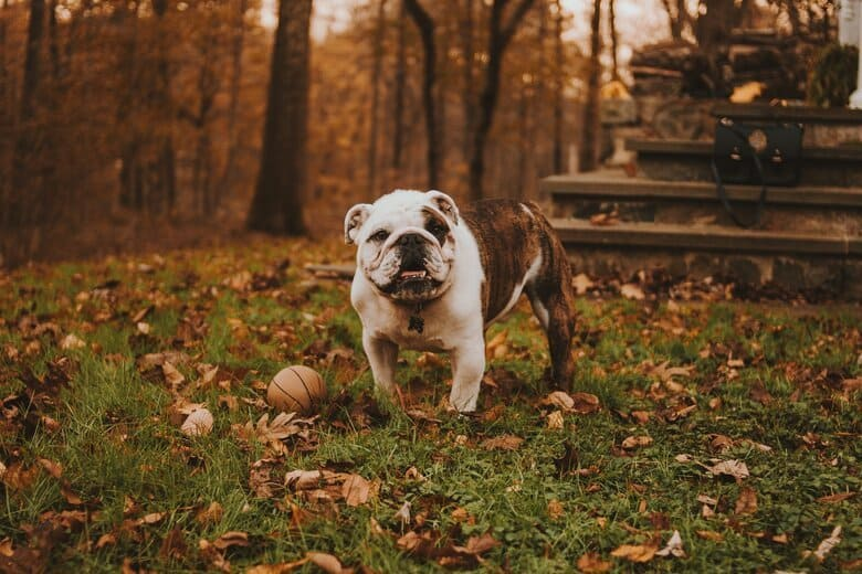 English Bulldog stands in the grass surrounded by leaves and a small basketball