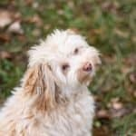 Havanese pup looks up at owner from the fall lawn