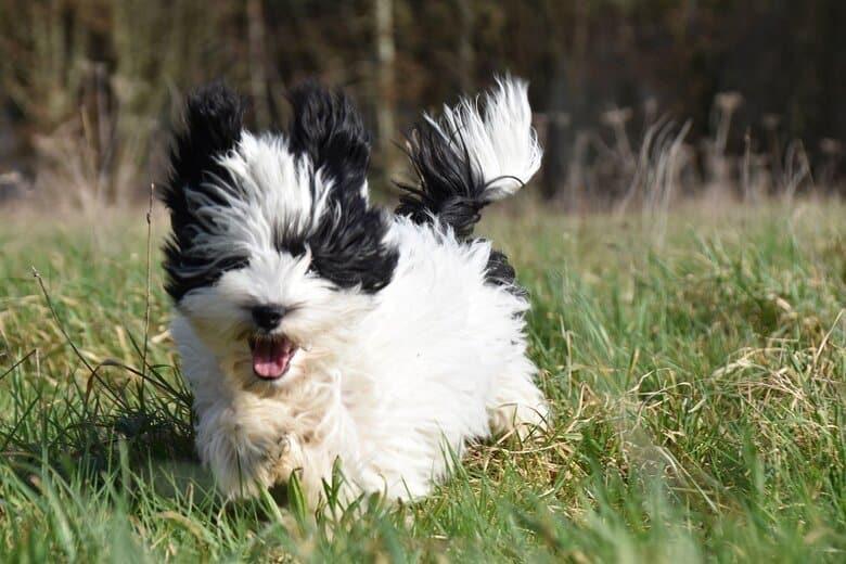Havanese puppy runs through a grass field