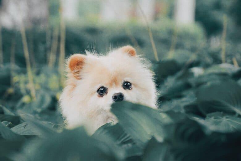 Pomeranian puppy peeping through the brush
