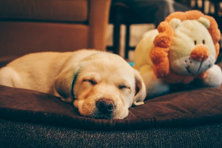 Small puppy takes a nap on his dog bed with a toy lion by his side