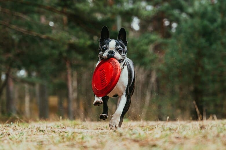 Boston Terrier gallops across the yard with a frisbee in his mouth